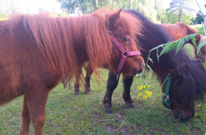 kucyki w Lubelskim Klubie Jeździeckim